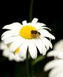 落在野菊上的蜜蜂