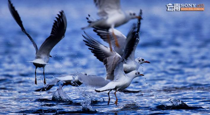 泸沽湖野生海鸥