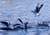 泸沽湖的精灵 野生红嘴鸥