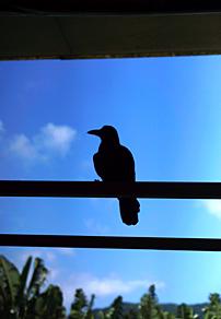 黑色的乌鸦