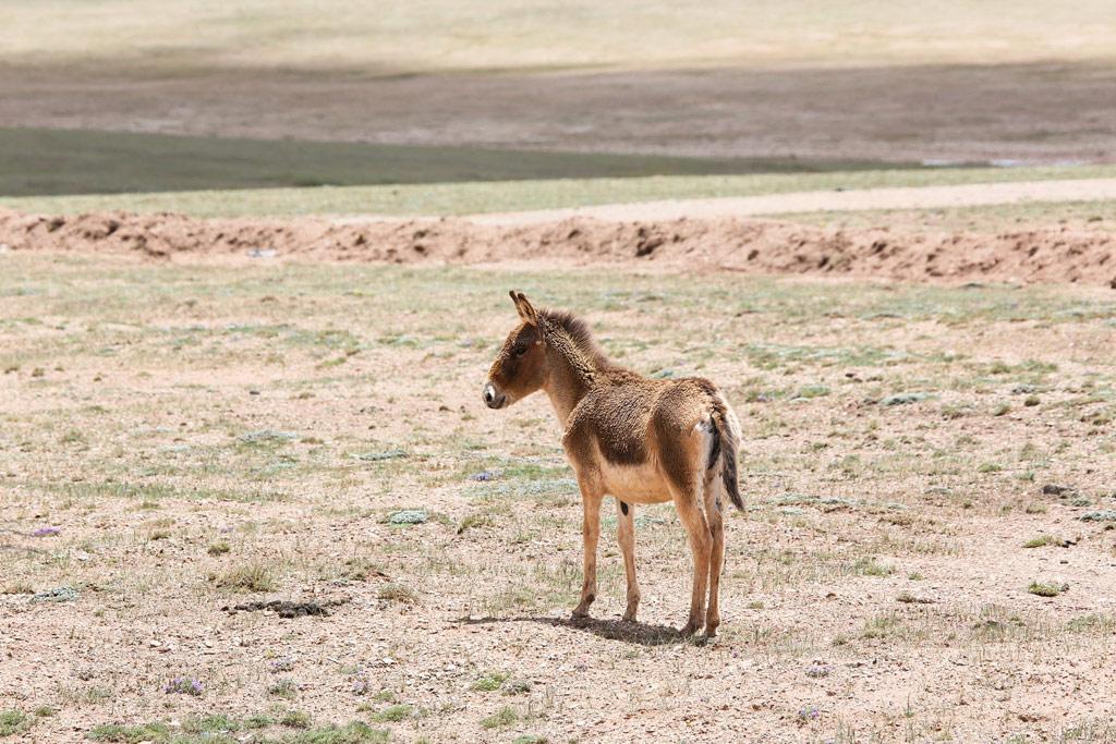在可可西里拍摄到藏野驴