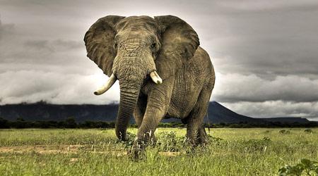地球上最大的陆生哺乳动物,它们生活在非洲的热带森林,丛林和草原地带