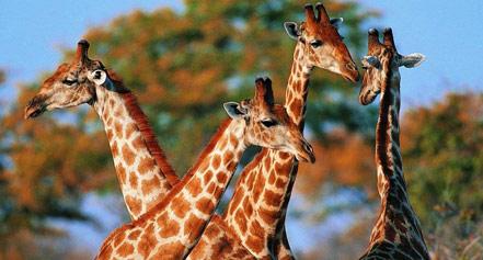 静静坐在草地上细细品味着长颈鹿,它们身上黄裼色斑纹