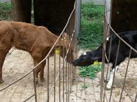 标题:两头牛的爱情<br/> 型号:A806HD<br/>